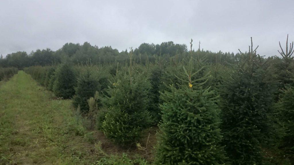 Jõulukuuskede kasvatamine